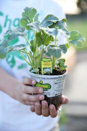 Tomato Plant in Hand