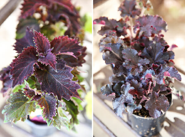 Coleus and Heuchera