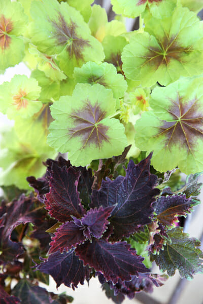Geranium and Coleus