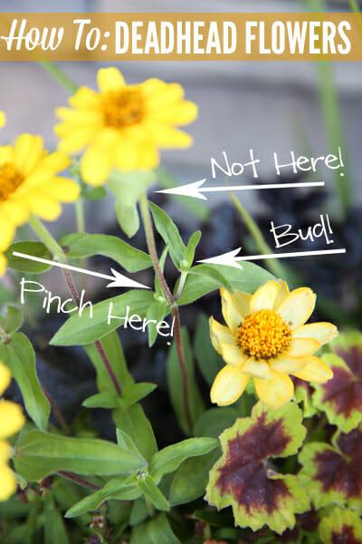 How to Deadhead Flowers