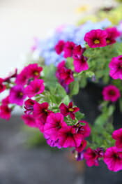 Trailing-Petunias-in-Bloom