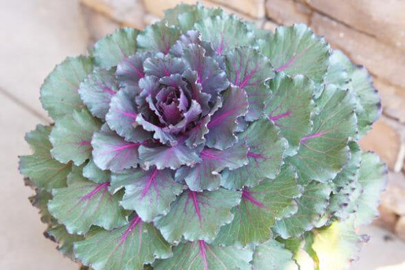 Our Best Bites_Ornamental Kale