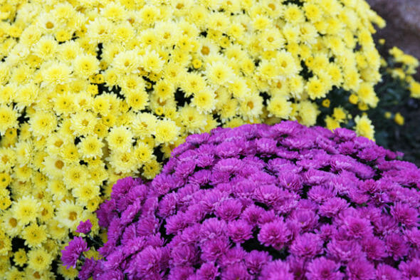 Our Best Bites_Pink and Yellow Mums