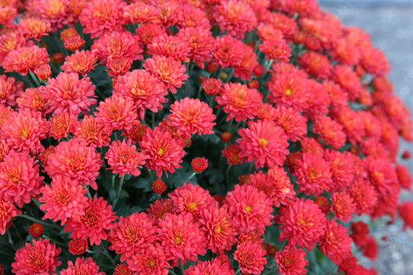 Our Best Bites_Red Mums
